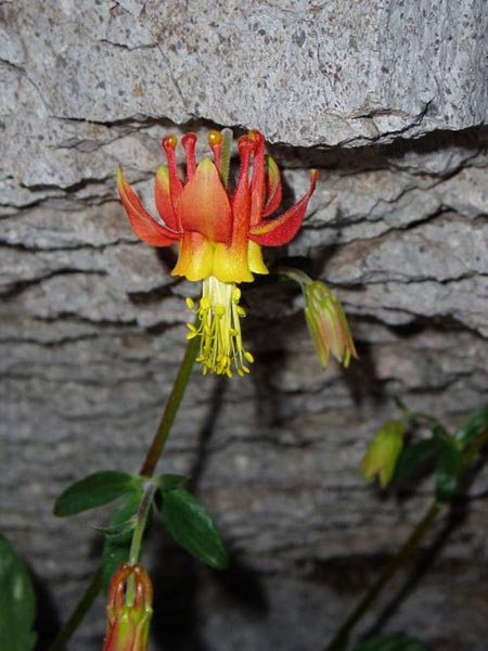 Crimson Columbine by a Rock