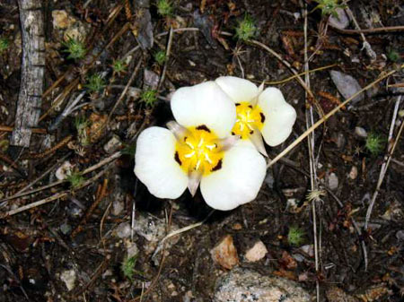 Two Mariposa Lily