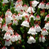 White Mountain Heather